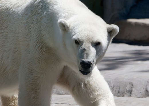 you can adopt a polar bear this Christmas