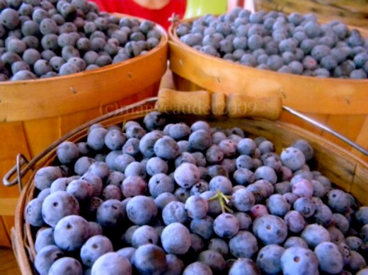 Blueberries grow well in the home garden all over the United States - if you give them a good start.