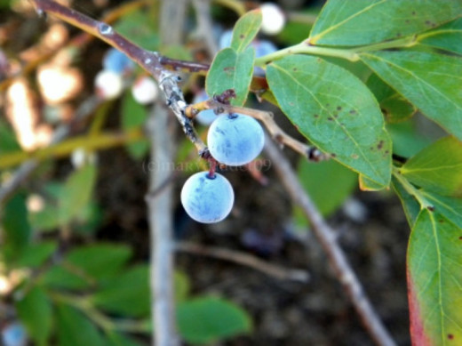 Southern Rabbit Eye Blueberries grow well in Texas as long as you prepare your bed.