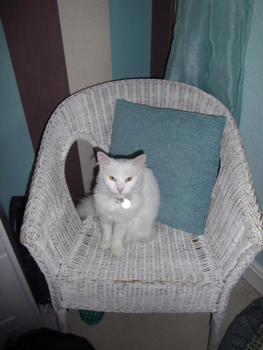 Turkish swimming cat sitting in a in a White  wicker chair