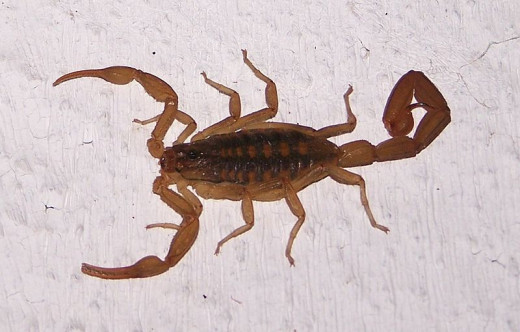 Venomous scorpions may have the power to heal cancer.
