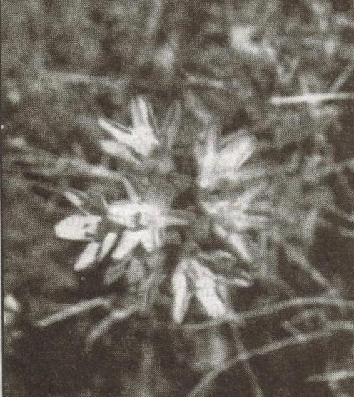 Bloom of wild onion.