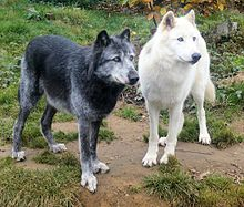 Black and white wolves, illustrating the various colors of wild wolf