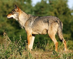 The Eurasian subspecies of gray wolf