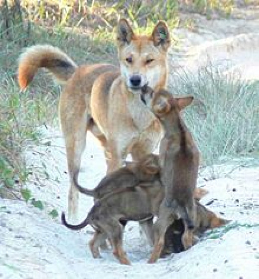 The Australian dingo - a complete reversal of the domestication process