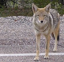 Southern version of coyote - notice the short hair