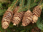 Pine cones can be sold to craftspeople.