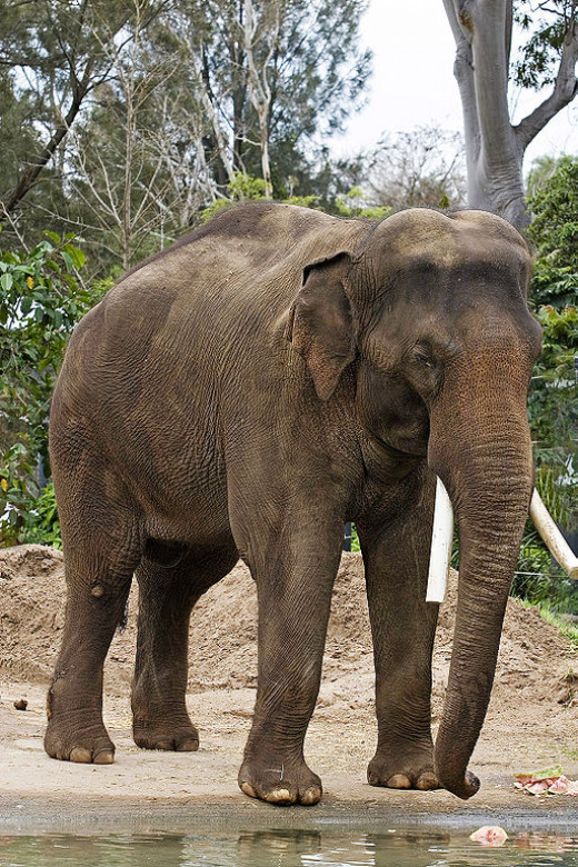 Asian Elephant. Image Credit: Fir0002 via Wikimedia Commons.