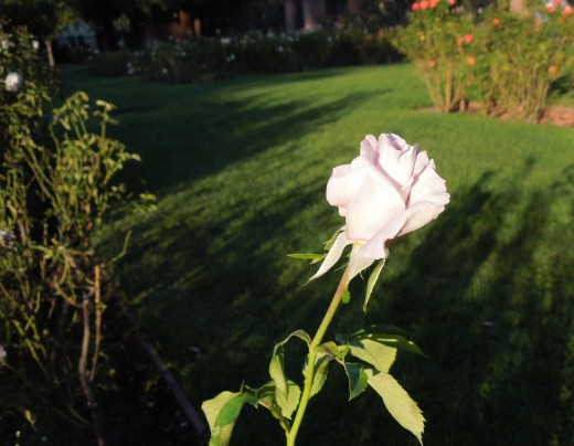 A Light Pink Rose in Municipal Rose Garden in San Jose CA