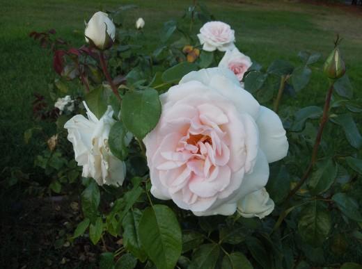 Light Pink Roses in Municipal Rose Garden in San Jose CA