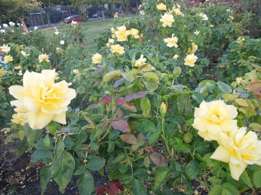 Yellow Roses in Municipal Rose Garden in San Jose CA
