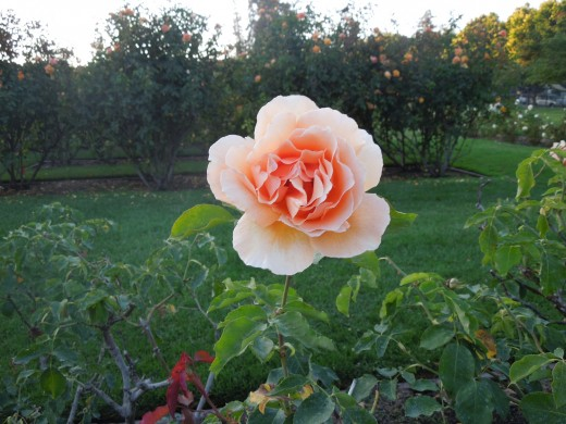 An Orange Rose in Municipal Rose Garden in San Jose CA