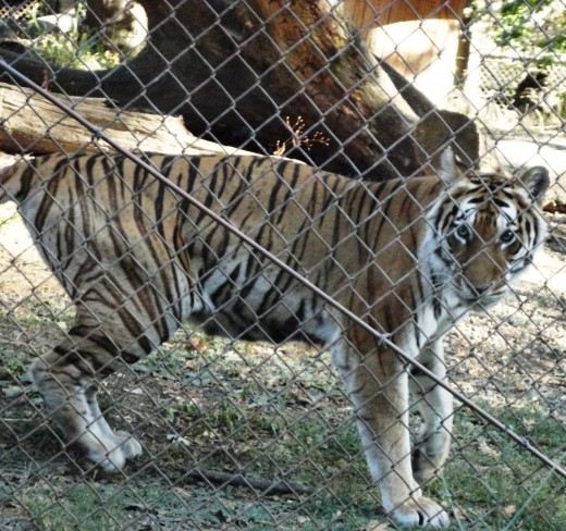 Siberian Tiger  only 4-500 left in the wild