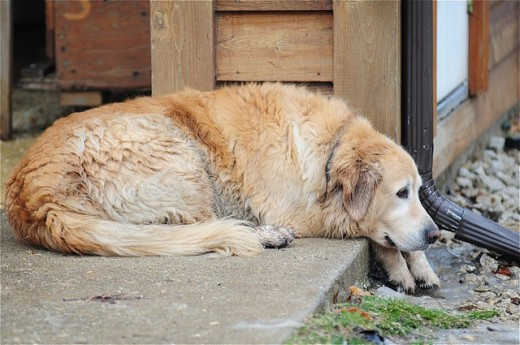 Old dogs may gain arthritis relief from acupressure.