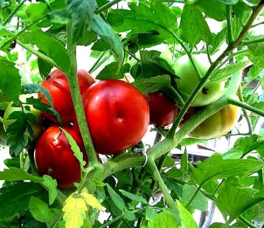Homegrown tomatoes are a delight and offer great rewards for the home gardener