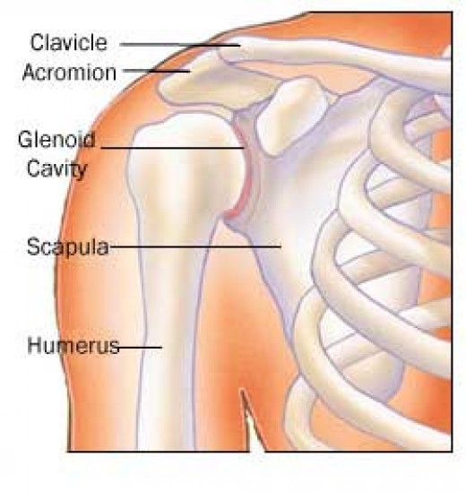 The shoulder joint (with the rotator cuff omitted)