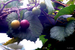 First Grapes of Late Summer!