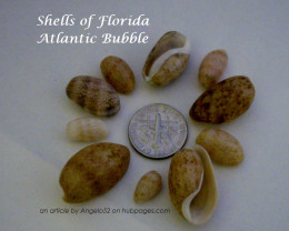A collection of Atlantic Bubble seashells found while beachcombing in South Florida.