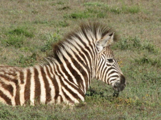 Young Zebra in Mountain Zebra National Park