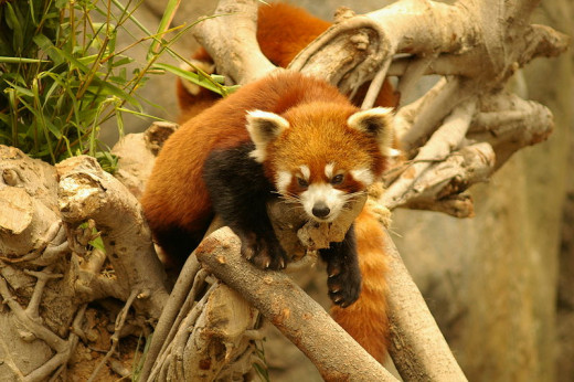A red panda at Ocean Park in Hong Kong.
