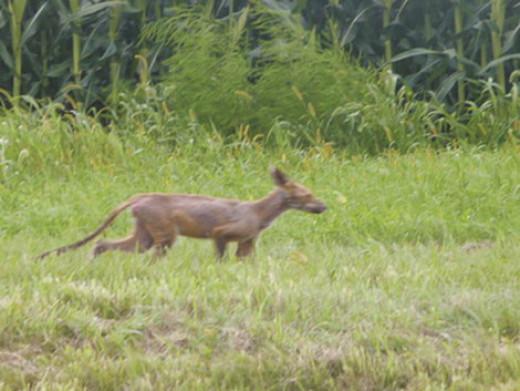 Chupacabra (Photo Credit: www.readda.com)
