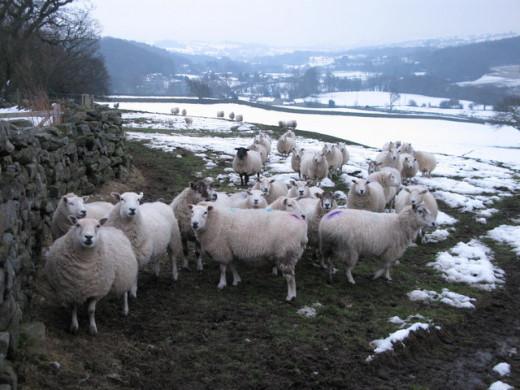 Winter sheep in Nidderdale