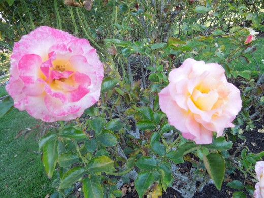 Two Light Pink Roses in Municipal Rose Garden in San Jose CA