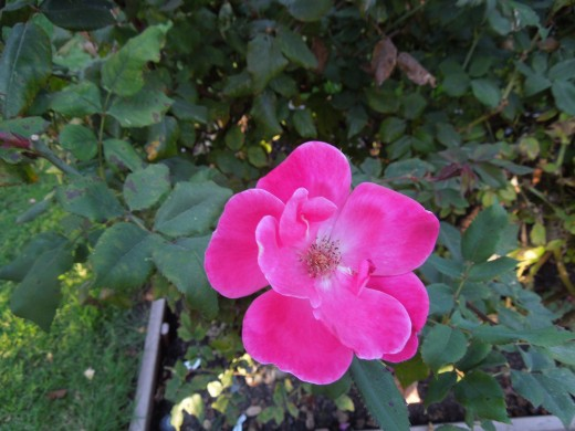 A Dark Pink Rose in Municipal Rose Garden in San Jose CA