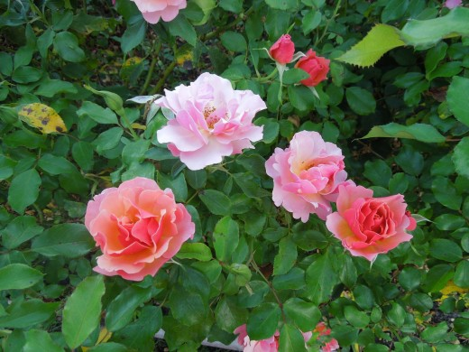 Pink and Red Orange Roses in Municipal Rose Garden in San Jose CA