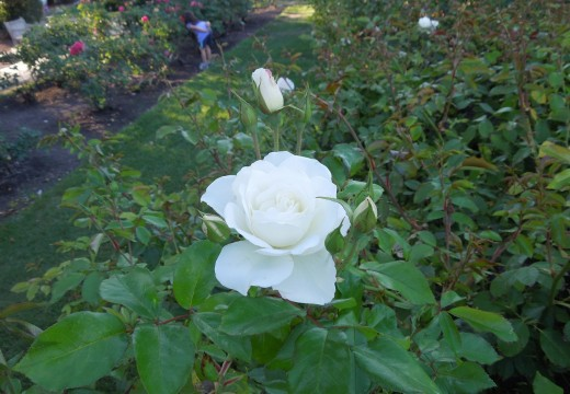 A White Rose in Municipal Rose Garden in San Jose CA