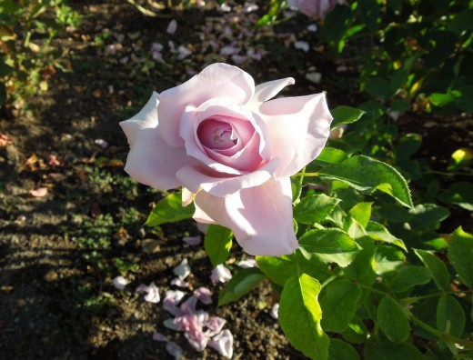 A Pink and White Rose in Municipal Rose Garden in San Jose CA