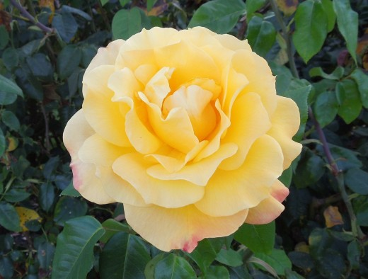 A Yellow Rose in Municipal Rose Garden in San Jose CA