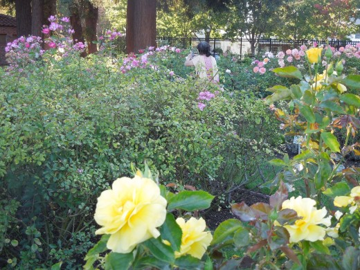 A Woman Taking Pictures at Municipal Rose Garden in San Jose CA