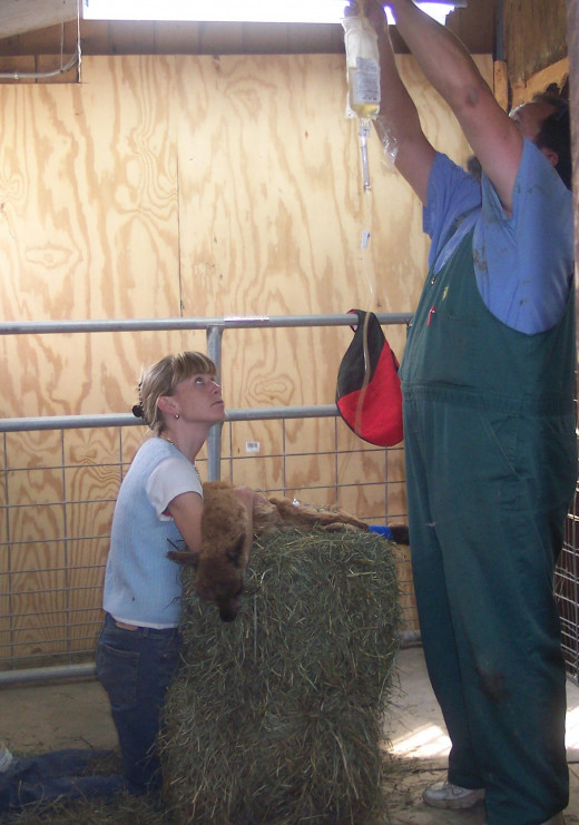 In the Alpaca Medical Room doing a procedure with the Vet.