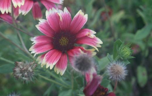 Gaillardia seeds
