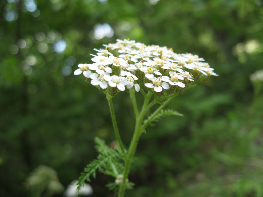 "Another common backyard flower is yarrow.  Once called an ""herbal band-aid"", yarrow leaves and flowers are crushed and applied to bleeding wounds.  The cleansing tea is used for coughs and colds as well as rheumatoid arthritis."