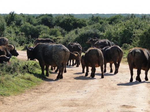 Buffalo on road in early morning-Addo