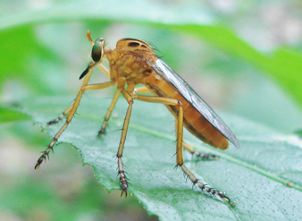 This photo of a robber fly, Diogmites neoternatus, was taken with a Sony DSC-W100 8 GB camera, which has a Carl Zeiss lens that allows for close focus.
