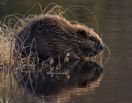 This all natural European Beaver might be flavoring your vanilla ice cream