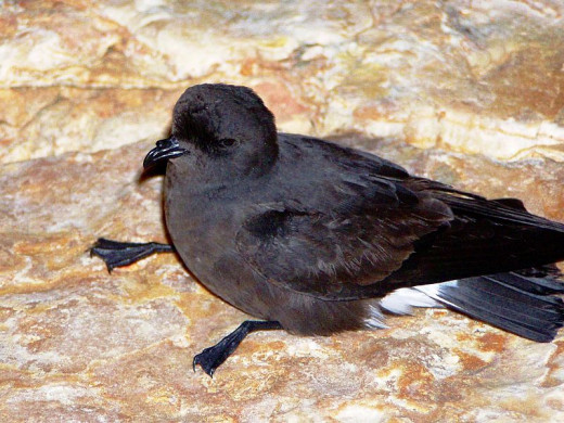 The European storm petrel is roughly the size of a house martin, measuring about 5 inches from beak to tail.