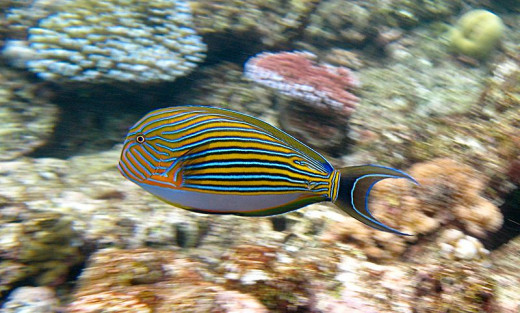 A beautiful colorful Fish - Striped Surgeon (Acanthurus lineatus) on Flynn reef (near Cairns) Great Barrier Reef Queensland, Australia. by Toby Hudson