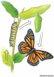 Metamorphosis of a caterpillar NB. Same DNA, different phenotype