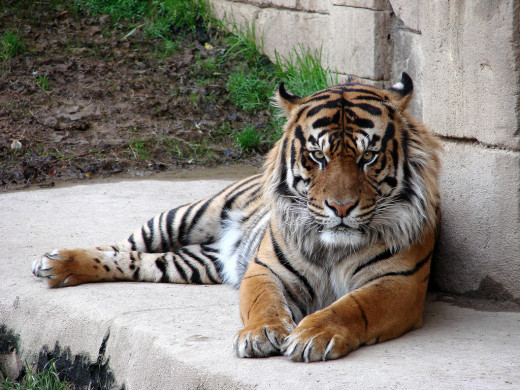Tiger laying down at the Memphis Zoo