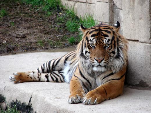 Tiger laying down at the Memphis Zoo