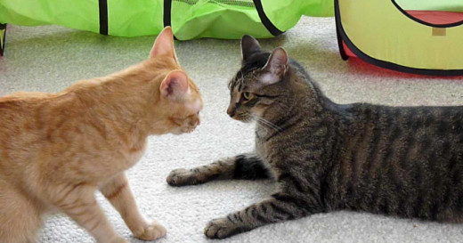 Cats Are Getting More Aggressive To Each Other