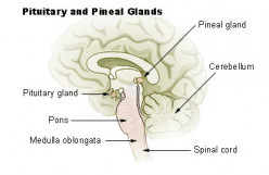 What is the Pineal Gland and what does it do?