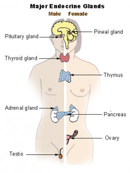 The pineal gland is one of many glands that are found in the body.