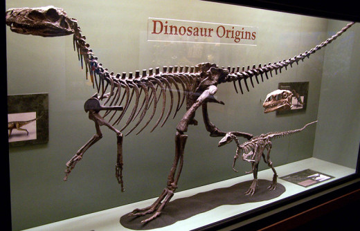 The skeletons of Herrasaurus (left) and Eoraptor (right) two examples of the earliest dinosaurs.