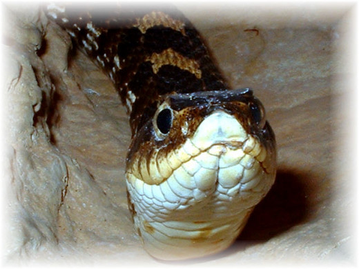 Eastern Hognose Snake - Make sure food is available year round if you go this route!