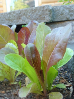 Red and green baby Romaine lettuce is mild and tender.
